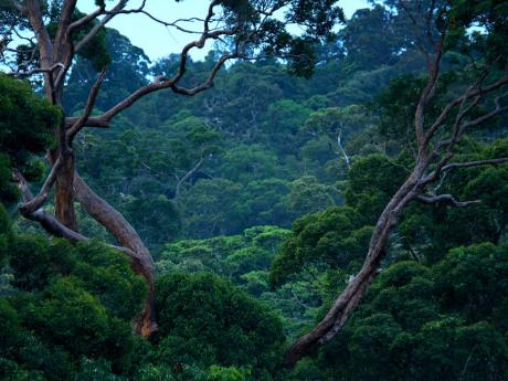 lambir canopy view