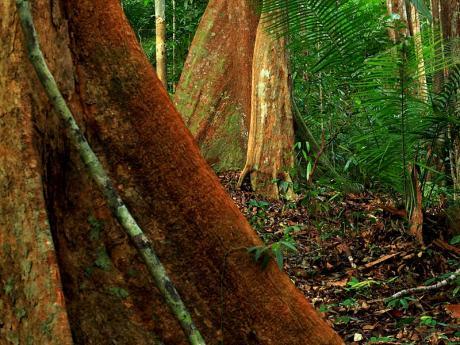 lambir treescape