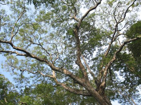 tree in Lambir