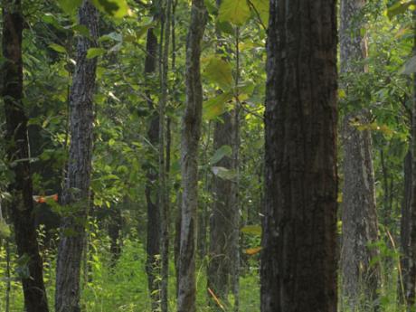 trees in malaysia