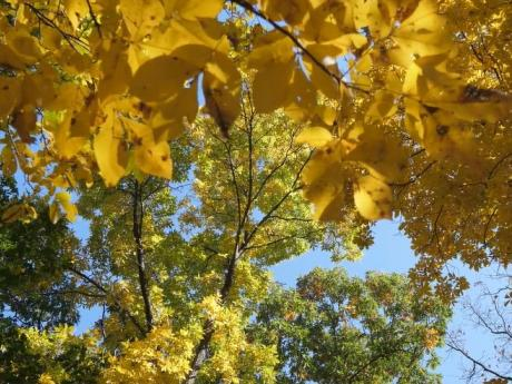 Yellow leaves of a canopy.