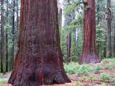 sequoias in Yosemite