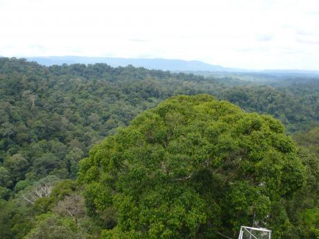 Kuala Belalong forest