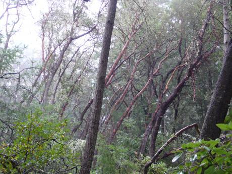 Santa Cruz forest