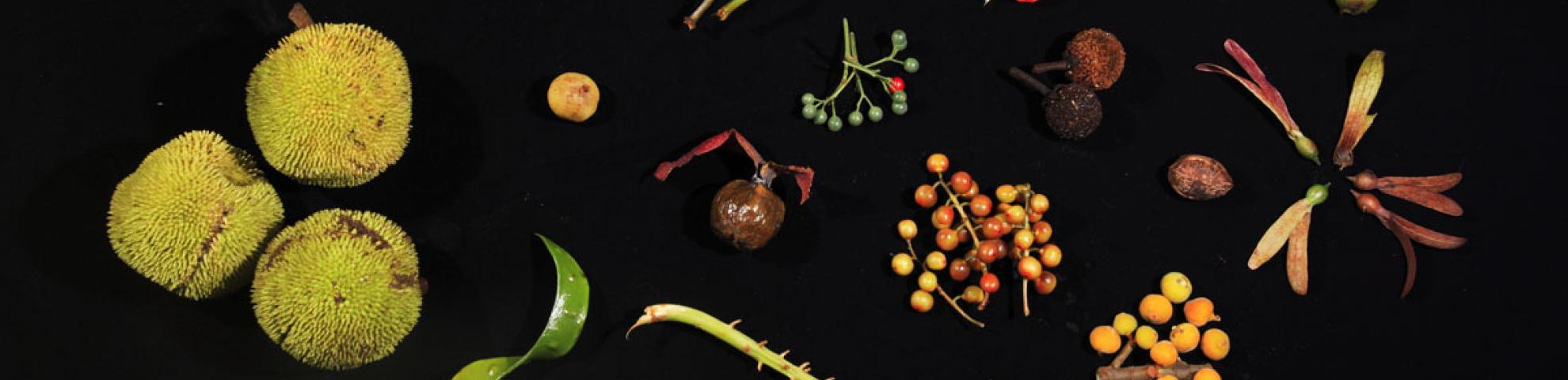 fruit from lambir