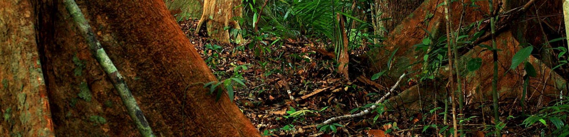 trees in Lambir plot