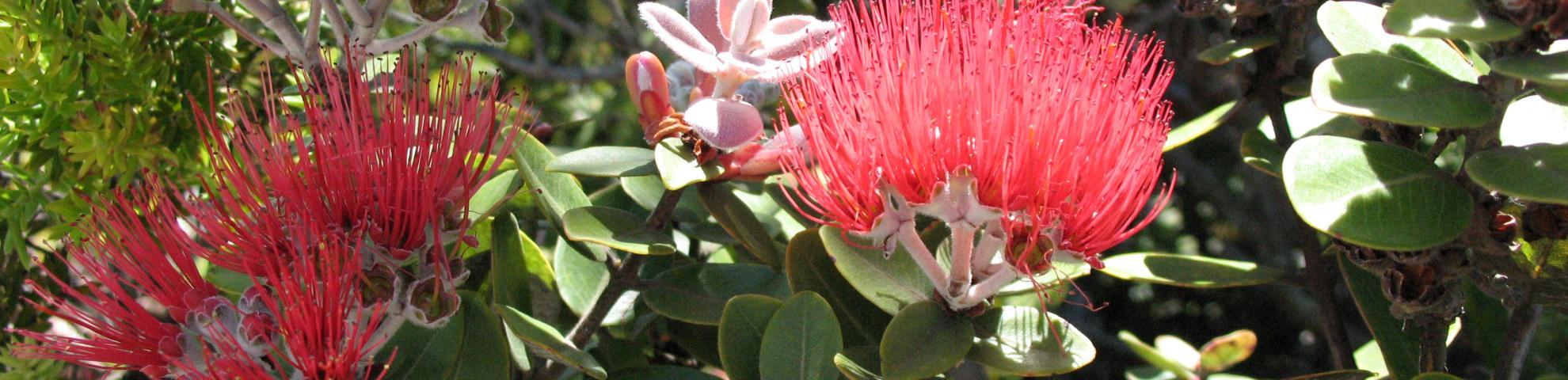 Laupahoehoe flowers