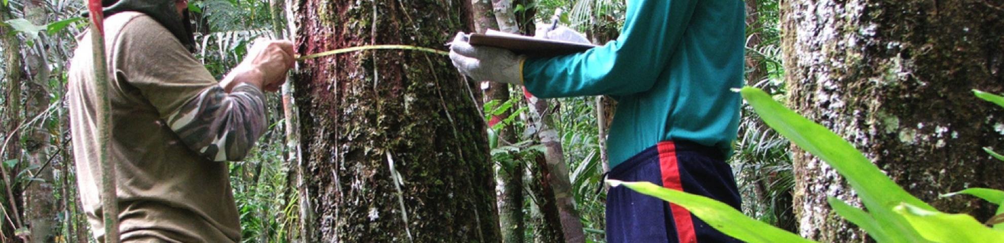 stock photo measuring trees